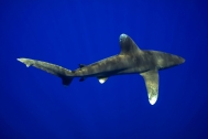 Oceanic white tip. Photo credit: Sean Williams